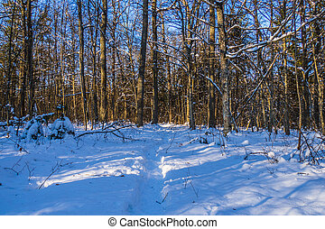 Trail in the Pine Tree Forest in Winter with Frost and Snow