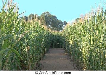 tall stalks of corn split by a trail.