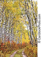Trail through Aspen grove