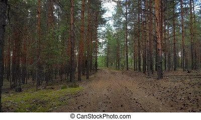 Broad trail through a pine forest with tall trees, in this wilderness area in Russia.