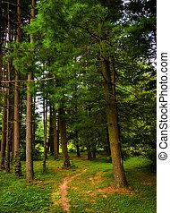 Trail through pine trees in York County, Pennsylvania.