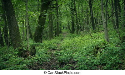 Trail Through Scenic Woods - Pretty woodland scene with many...