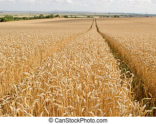 Trail through the Wheat Field