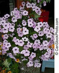 Trailing petunia grown at Indian garden farm Bridgewater...