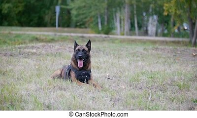 Trained shepherd dog sitting on a grass showing the tongue -...
