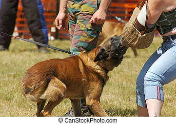 Military dog being trained, attack command. Safety, security concept.