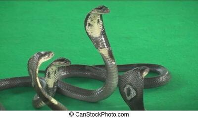 trainer with a Cobra. Snake farm. Thailand