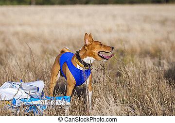 training, coursing., basenji, hund, spur, läufe, über, der, field.