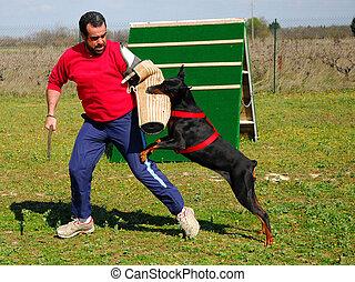 police dog - training of police dog doberman