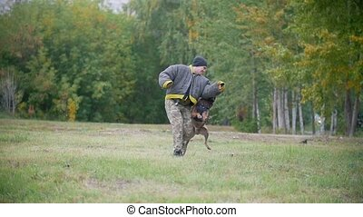 Training sheepdog on attacking on an arm. The man wearing...