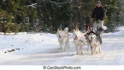 Training sled dogs on rural road in winter