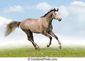 trakehner, 馬, gallops, 在, meadow.