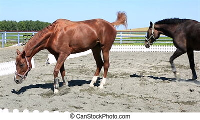 Trakehner breed and Polish mongrel horse in paddock