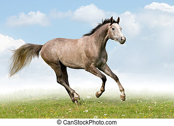 Trakehner horse gallops in meadow.