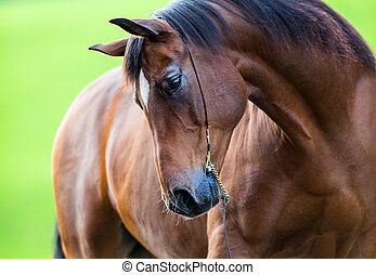 Trakehner horse portrait on green background.