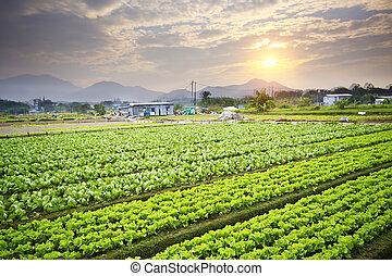 tramonto dorato, sopra, campo azienda agricola