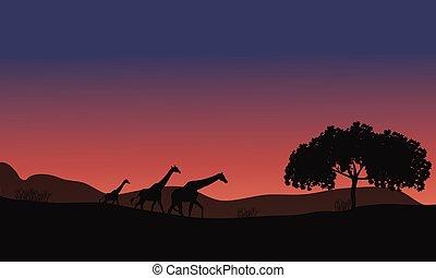 tramonto, safari, famiglia, giraffe