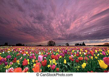 tramonto, sopra, campo tulip
