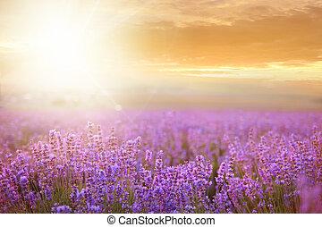 tramonto, sopra, field., lavanda