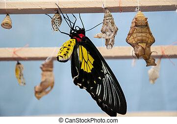 transformación, de, el, crisálida, a, mariposa, troides,...