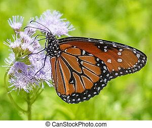 Transformation: a Monarch Butterfly on a purple wildflower in a meadow