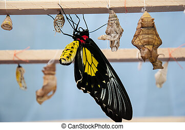 Transformation of the chrysalis to Butterfly Troides...