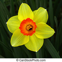 Translucent Daffodil - A brightly coloured daffodil with...