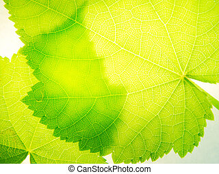 transparency - leaves of a room linden