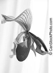 transparency - monochrome flower of lady slipper