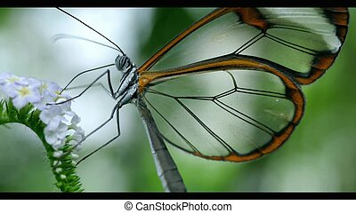 Transparent butterfly on a flower eating