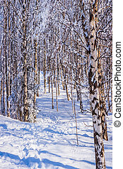 Transparent cold air in winter frosty day. The snow-covered aspen grove. Lapland. The concept of extreme and ecotourism