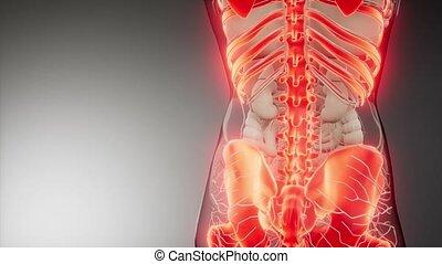 medical science illustration of human skeleton bones