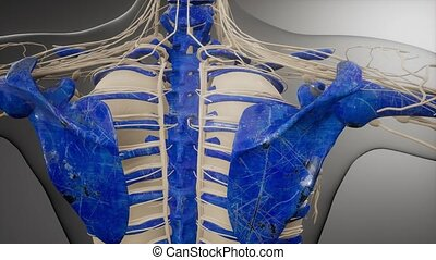 medical science illustration of human skeleton bones