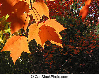 Closeup on transparent orange fall leaves on a tree branch