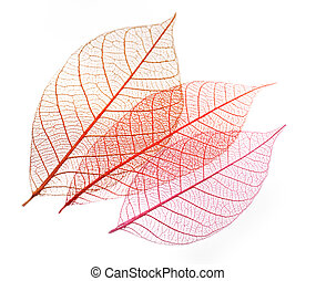 Transparent Skeleton Leaves On White Background