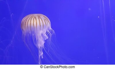 Transparent umbrella shaped sea jelly with long white...
