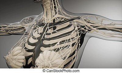 transparente, ossos, corpo humano, visível