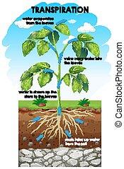transpiration, diagramme, plante, projection