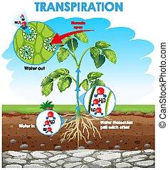 transpiration, pianta, esposizione, diagramma
