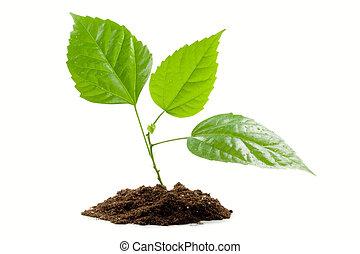 transplantatie, van, een, boompje