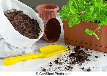 Transplantation of basil seedlings. A home garden. Growing herbs on the windowsill or balcony