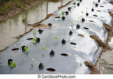 Transplanting crop