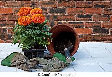 Transplanting African Marigolds into pots
