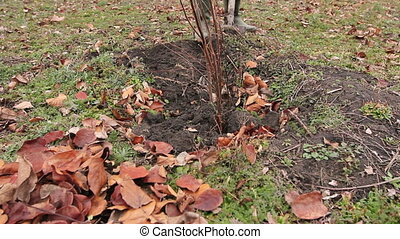 Transplanting new scion with roots, dibble fruit tree -...