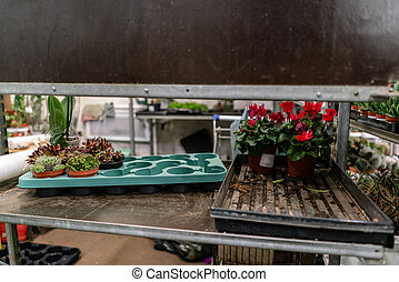 Transplanting plants gardener, service part of the flower shop. Garden center and wholesale supplier concept. Many different cacti in flower pots in flowers store