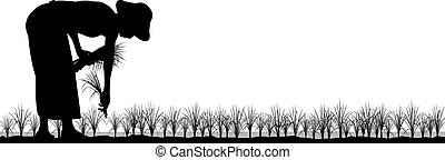 Transplanting rice - Editable vector silhouette of an asian...