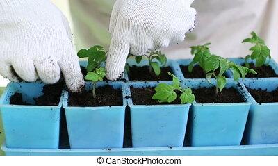Transplanting tomato seedlings into individual pots -...