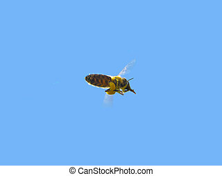 Transportation pollen - The bee carries pollen collected...