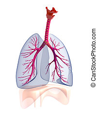 transtarent, anatomy., umano, polmoni