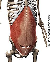 transversus, abdominis, músculo